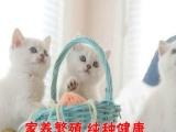 渐层金吉拉猫咪MM找新家 宠物猫出售