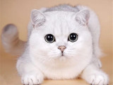 廣東廣州英國短毛貓銀漸層一般多少錢