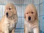 狗场直销黄金寻回猎犬大头版金毛幼犬 公母均有 可送货上门