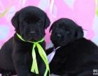 犬舍诚信出售 高品质纯种健康 拉布拉多犬 可送货签协议