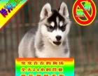 可加微信看狗疫苗驱虫做完签订质保哈士奇犬