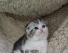 【折耳猫】养殖场直销高贵气质折耳猫出售中包纯包活