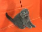 傲娇萌猫纯种蓝猫美短渐层蓝白折耳宠物猫活体幼体