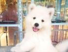 苏州上门看狗萨摩耶 澳版 熊版萨摩耶幼犬 纯种公母齐全