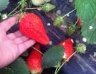 蜜糖草莓采摘园(雷家店子)