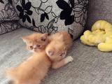 小加菲猫出售幼猫cb
