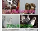 出售精品观赏鸽,元宝鸽,黑色毛领鸽,天使鸽,金鱼观赏鸽等