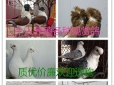 出售球形元宝鸽,芙蓉鸽,鼓手鸽,毛领鸽,金鱼观赏鸽等