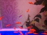 高鳍红箭鱼,自家繁殖,便宜出