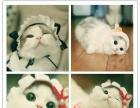 TICA布偶名猫屋出售高品质猫咪品质保障-布偶猫