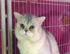 纯种 自家培育 英短 银渐层色 折耳猫 幼猫