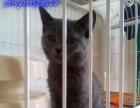 天凡名猫英短蓝猫专卖品质陕西第一