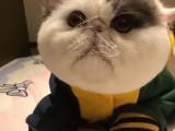 成都超甜美藍貓寶寶 健康無病無癬包健康