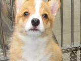 狗场优惠直销纯种温顺活泼的柯基宝宝 纯种健康质保
