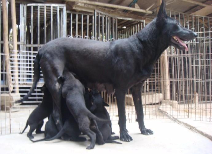 纯种墨界黑狼 自家养殖 包健康 品相** 可签协议