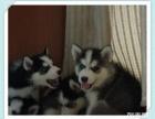 武汉精品三火蓝眼哈士奇雪橇犬,证书齐全,在乎品质找我