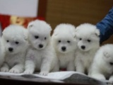 家有一窝纯种萨摩耶幼犬急需转让 公母都有 多只挑选