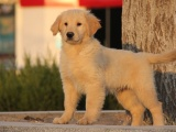 宠物店里的金毛犬可以买吗 健不健康