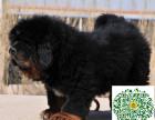 藏獒幼犬,藏獒多少钱一只