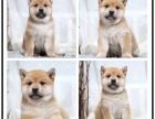 本地犬舍出售纯巴吉度猎犬 双血统带证书