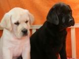 高品质拉布拉多犬,正规基地繁殖,纯种健康,可签协议