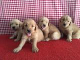 纯种金毛犬 保纯种 三针疫苗齐全 健康血统有保障