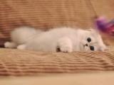 金吉拉猫宠物猫幼崽猫咪活体纯白幼猫长毛波斯系