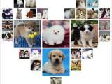 北京延庆出售纯种阿拉撕加犬雪橇宠物狗狗幼犬