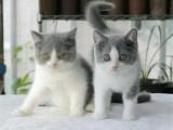 北京西城英国短毛猫较低多少钱