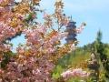 4.22-4.23 石岛赤山樱花节一日游