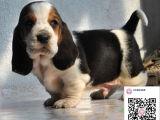 纯种巴吉度猎犬狗狗出售