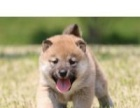 高品质纯种如日系柴犬出售/血统纯正。疫苗齐全