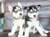 西安出售 纯种哈士奇犬 完美品相 签协议包健康