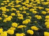 批发时令草花-价格公道的国庆菊哪里有供应