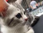 美国短毛猫,加白的起司猫,活泼可爱。纯家养更健康