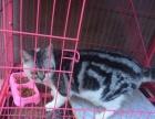 短美加白小猫咪便宜出售