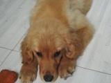 由于工作原因,纯种金毛犬低价出售。