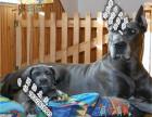 家养纯种大丹犬便宜出售了 喜欢的可以加我详聊
