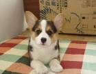 出售小短腿柯基犬幼犬图片 成年柯基犬价格是多少