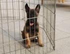 长沙纯种马犬价格 长沙哪里能买到纯种马犬