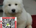 上海大白熊犬领养赠养价格 巨型大白熊宠物狗转让买卖交易