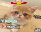 鑫鑫猫舍精品加菲猫 大圆脸水滴眼 颜色漂亮乖巧可爱