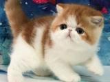 福建福州纯血净梵加菲猫低价出售