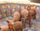 纯种健康的小体小鹿犬,售后三包公母都有买狗送狗粮下单包邮