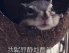 可爱萌宠金花魔王黄山幼崽松鼠