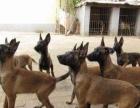 出售惠比特灵缇格力犬格惠犬 保证全活 保证健康 ,