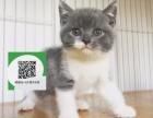 天津哪里有蓝猫出售 天津蓝猫价格 天津宠物狗出售信息
