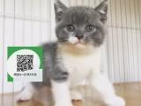 绵阳哪里有卖虎斑猫 绵阳出售虎斑猫 绵阳虎斑猫买卖