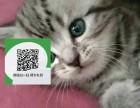 济南哪里有虎斑猫出售 济南虎斑猫价格 虎斑猫多少钱