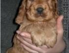 中山哪有可卡犬卖 中山可卡犬价格 中山可卡犬多少钱